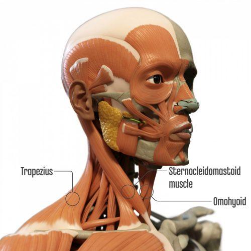 SternocleidomastoidAffectPosture